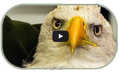 Rapor Education Group Bald Eagle Release Video.png
