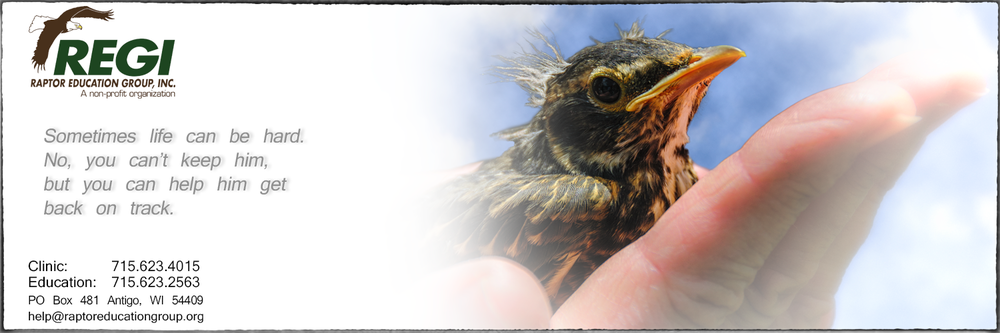Raptor Education Group Help A Baby Bird Robin in Hand.jpg