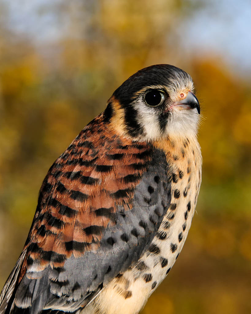 Benjamin  the American Kestrel