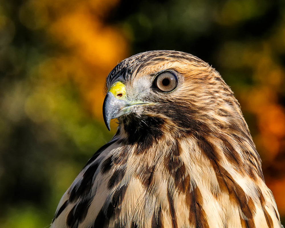 """Ruby"" Red-shouldered Hawk"