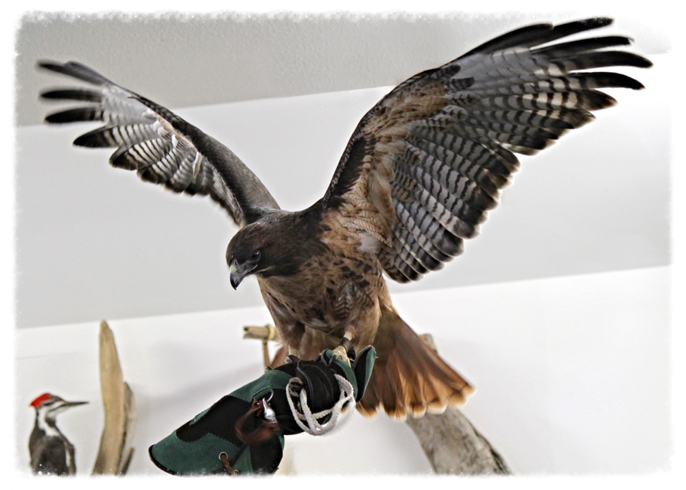 Juliet the Red-Tailed Hawk, shows off to a group of adults how big her wing span is