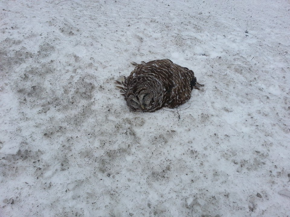 The Barred Owl as he was found in a snowbank near Coloma, WI.  He was weak and unable to respond to Debi Solchenberger-Hince who rescued him and got him help. Photos by Debi.