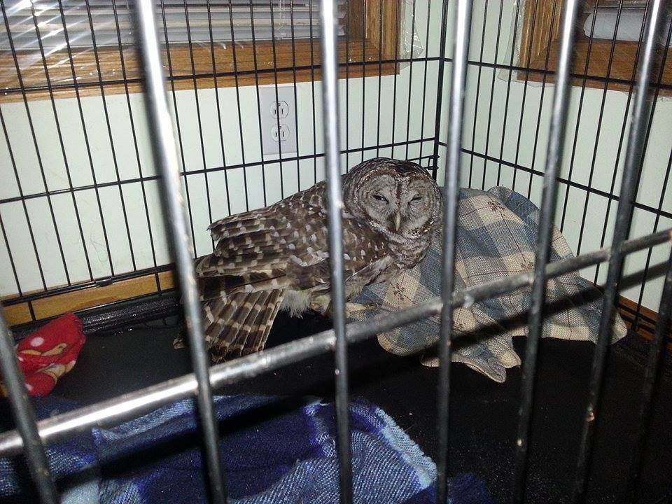 We don't suggest any wild bird is put into a wire cage, but this poor Barred owl was so sick and unconscious most of the time.  Cardboard boxes make holding and transport boxes for birds. Photo by Debi