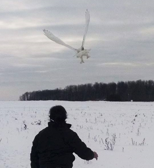 The male Snowy Owl was also released by Anna this late afternoon at the same site. Lots of room for them to spread out or stay close if they want. It is up to them now. Love this release view of his legs in full view! That habitat says SNOWY Owl all over it!