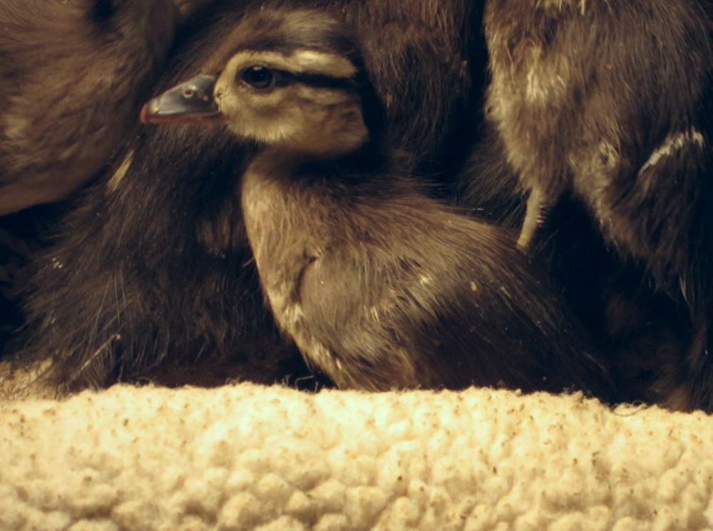 One of our Wood Ducklings currently in care surrounded by his siblings.