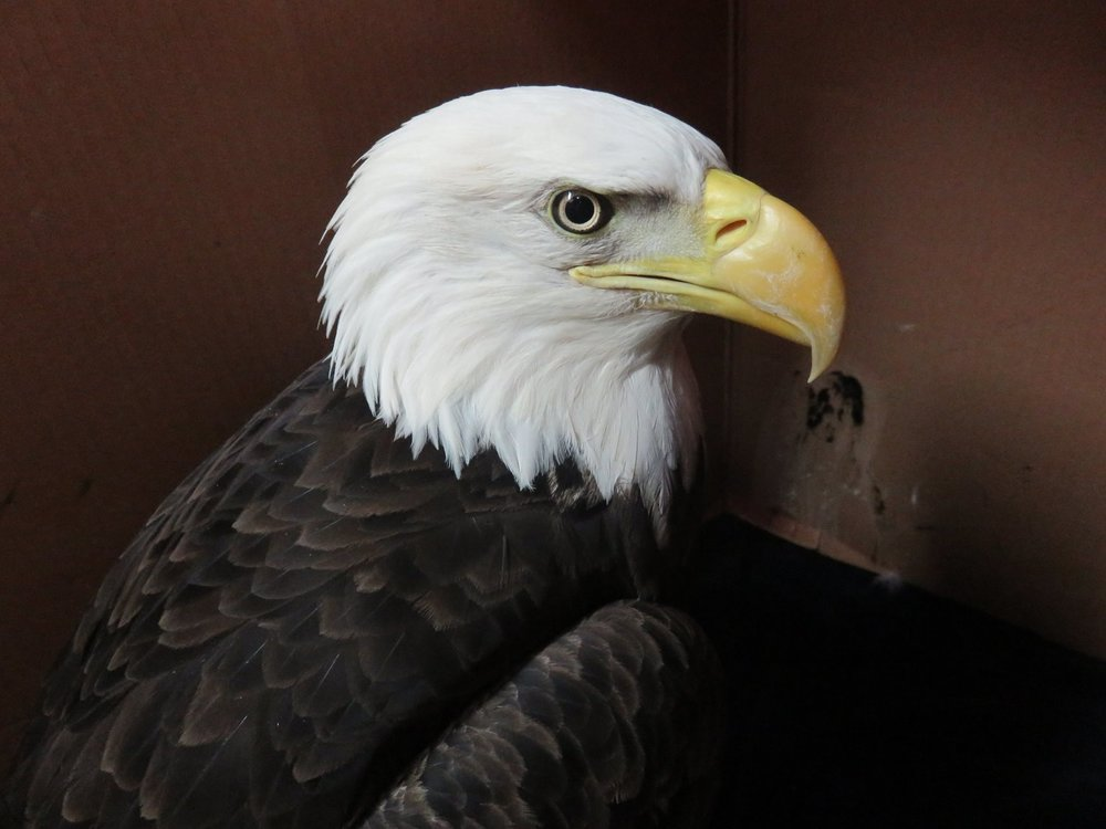 Wittenberg Eagle