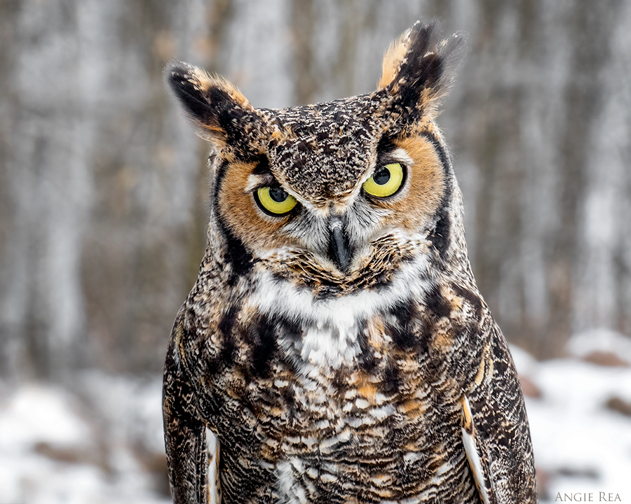 """Fonzie"" Great-horned Owl"