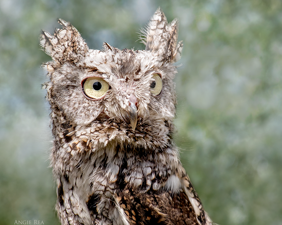 Elva  the Eastern Screech Owl