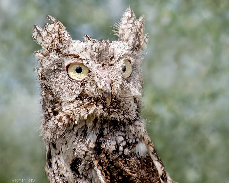 """""""Elva"""" Eastern Screech Owl"""