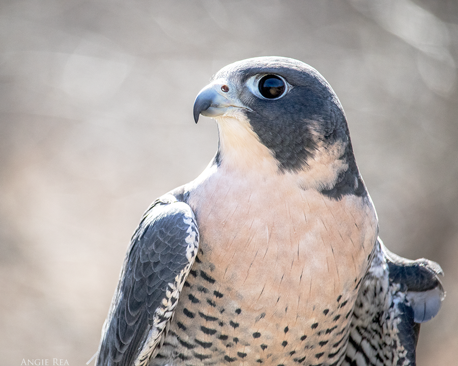 Otis  the Peregrine Falcon