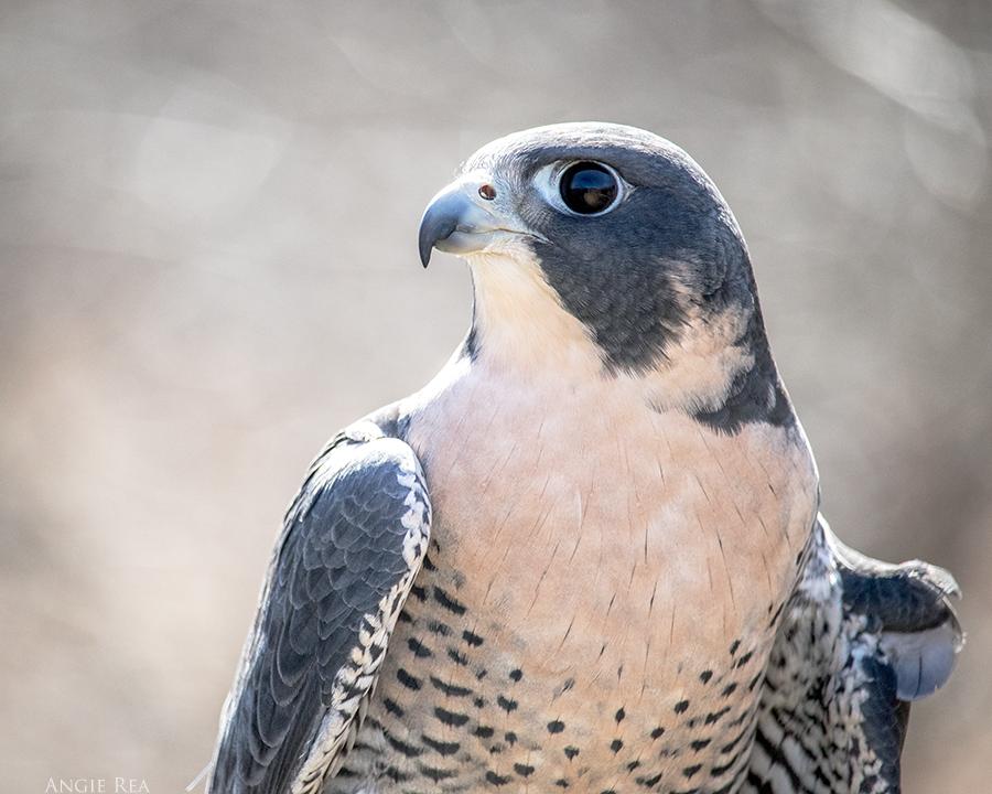 """""""Otis"""" Peregrine Falcon"""