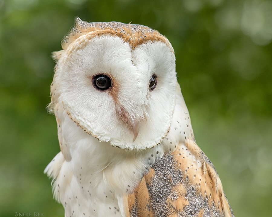 Storm  the European Barn Owl