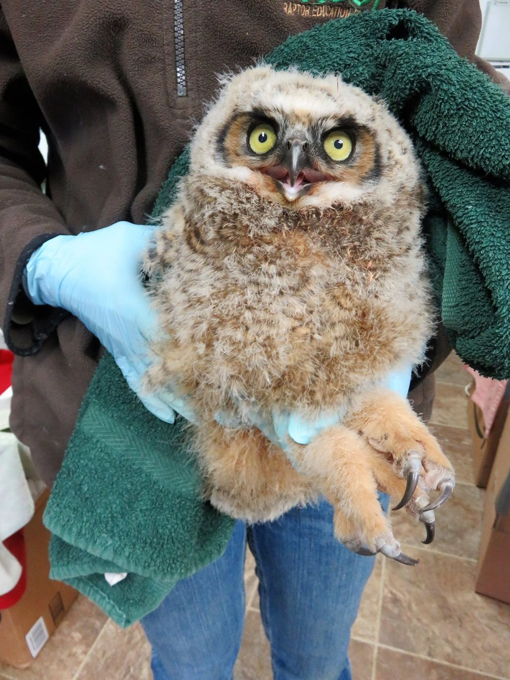 Great-horned owlet is with his foster family after a quick evaluation.