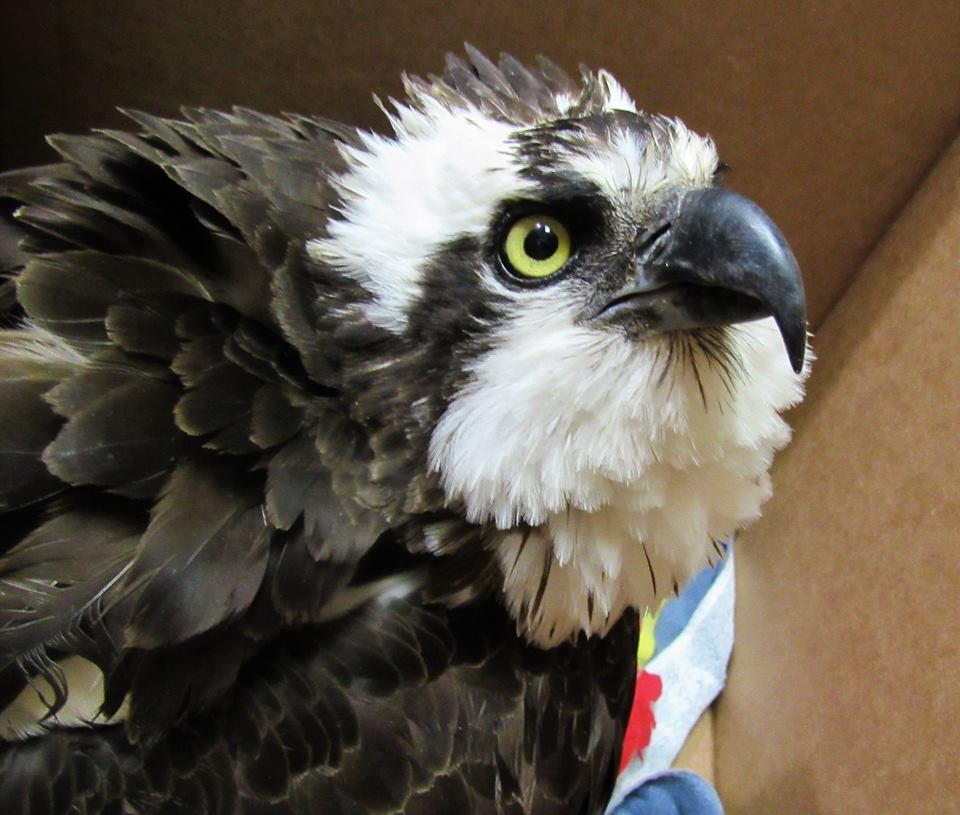 Osprey have beautiful faces!