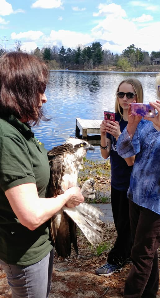 First there were photos, for the residents of McDill Pond to meet their local female osprey. She was found emaciated and in a deep snow following the severe snow storm in early April.