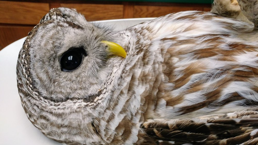 Ms Barred Owl arrived at REGI during the winter storm event. She weighing in at just 520 grams. She was in rough shape.