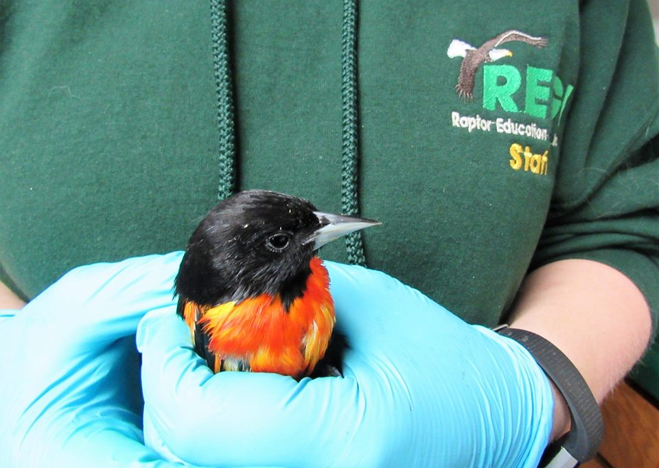 This  adult male Baltimore Oriole was stuck up in grape jelly. It compromised  his breathing.  Use small containers of jelly if you use it and do not  spread it on boards. If birds have jelly on their feather they cannot  fly.