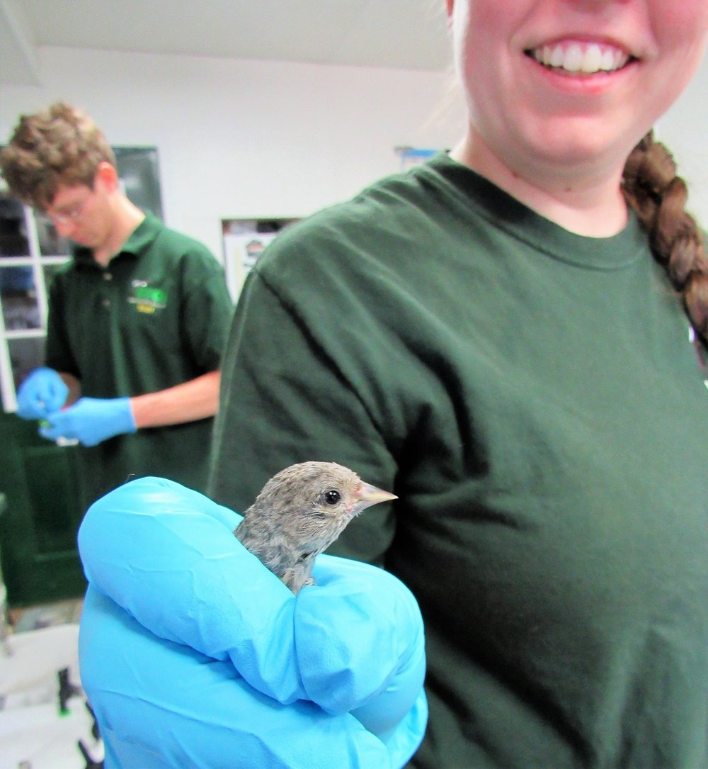 Our tiny Pine siskin admitted a few weeks ago is all grown up. He was raised by foster parent Pine Siskins.