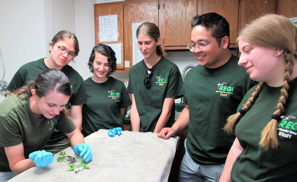 Second patient was a tiny Ruby-throated hummingbird.Interns look on.