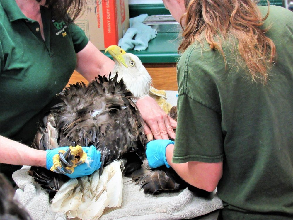 A Bald Eagle was admitted from Antigo, WI this morning. He has an elevated blood lead as well as injuries.