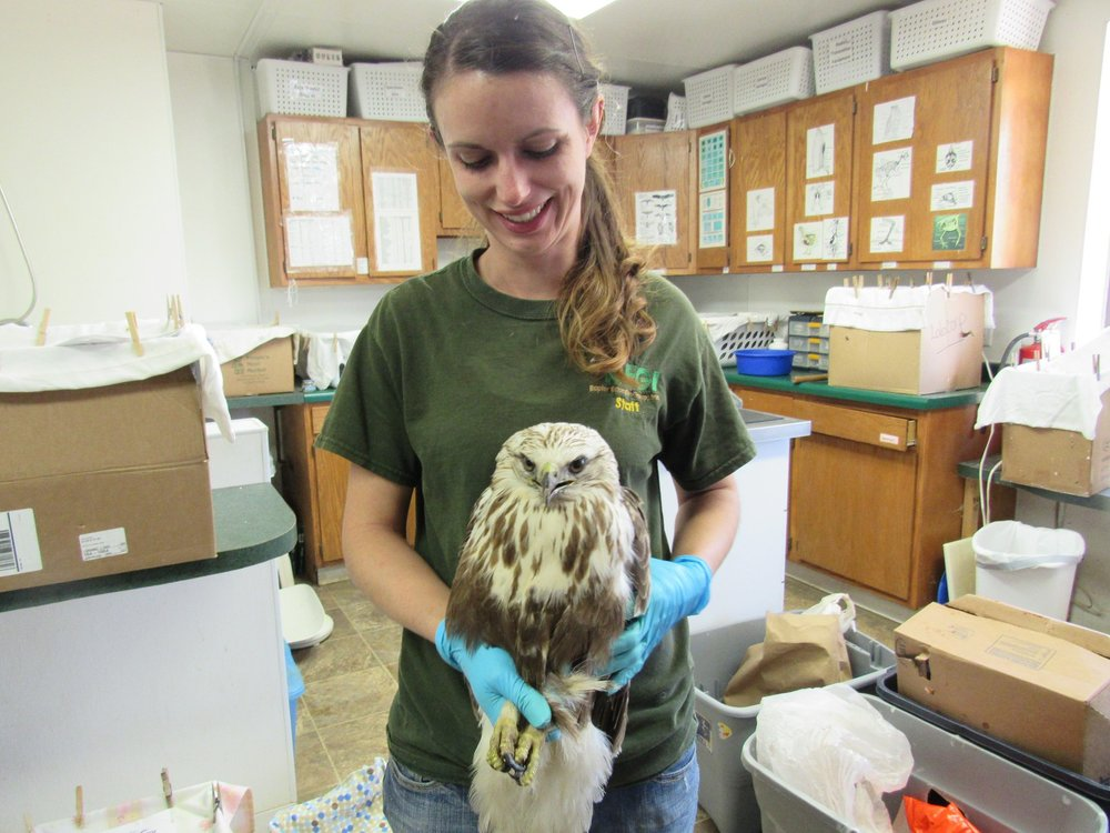 A Rough-legged Hawk should be in her way to the far north for breeding, however she remained in WI due to being in poor health.