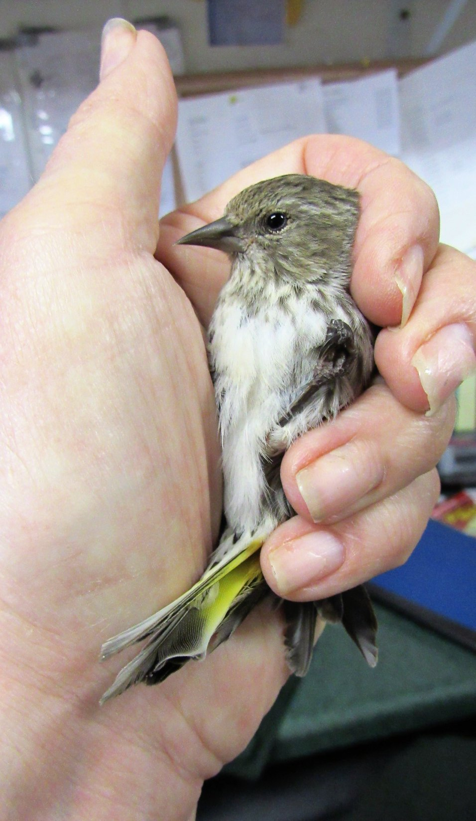 A lovely Pine siskin joined 4 other siskins already in care at REGI.