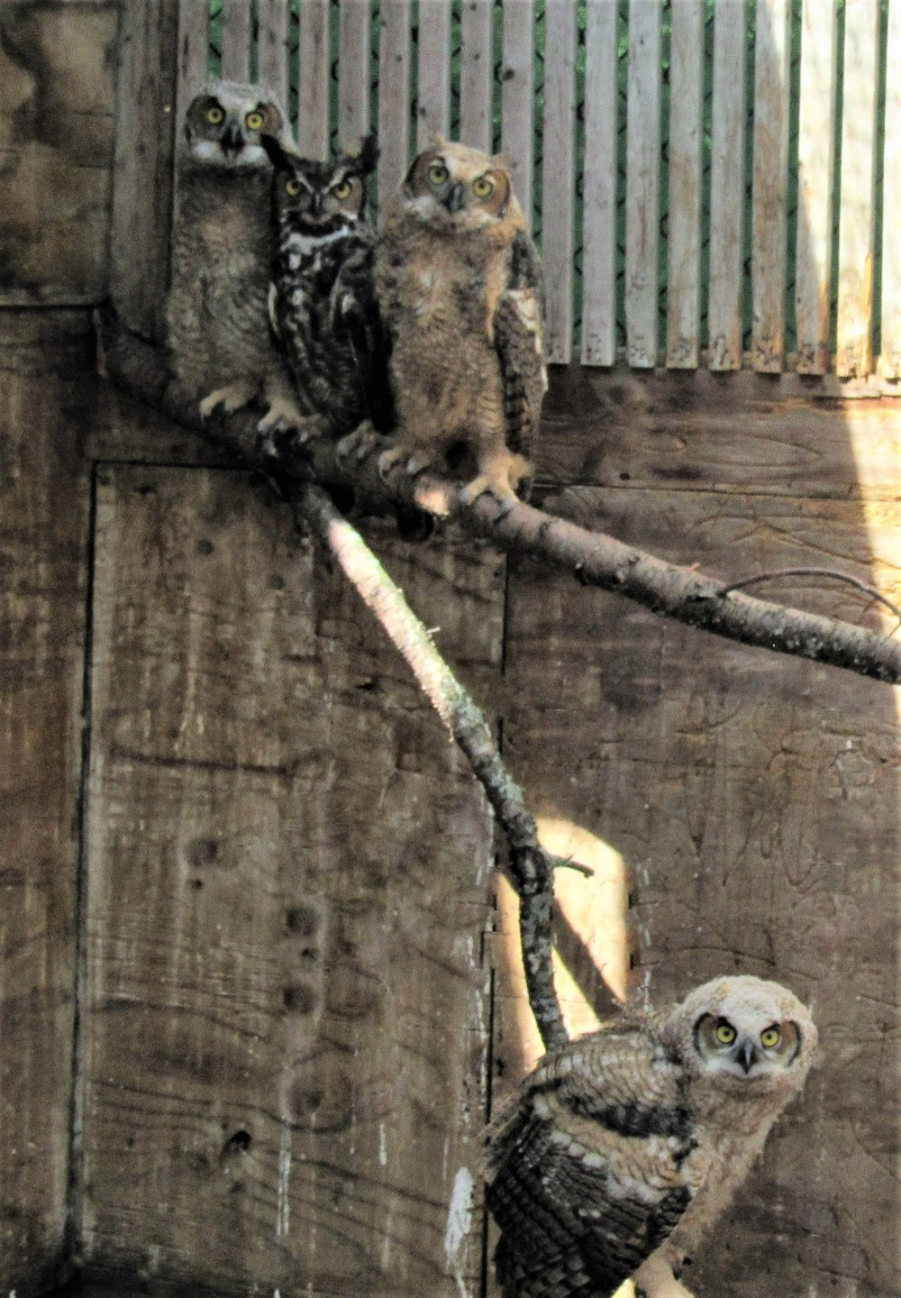 Our male foster dad great horned owl does not have a sense of humor when we photographed his chicks.