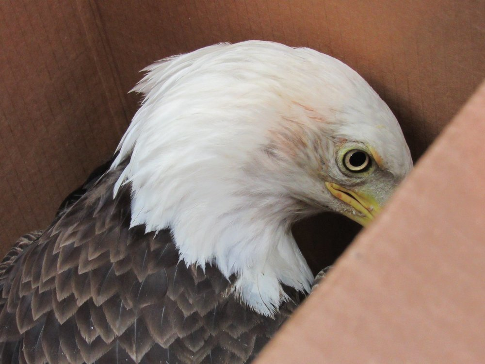 An adult female Bald eagle was transferred to REGI from Chocolay Raptor Center in Marquette Michigan. She has lead poisoning and injuries from a territorial dispute.