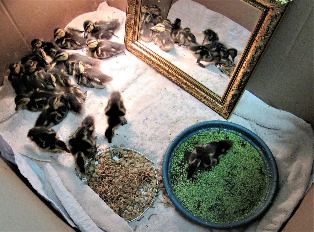 Lots of mallard ducklings are in care at REGI at this time.