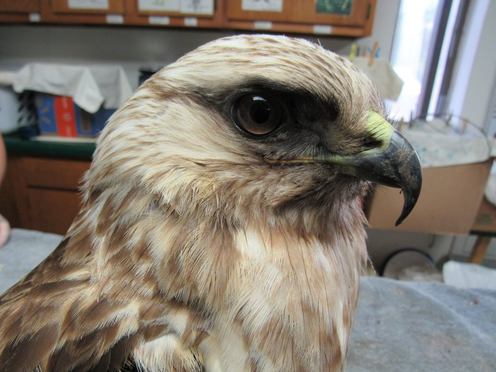 A beautiful male Rough legged Hawk was admitted this week.