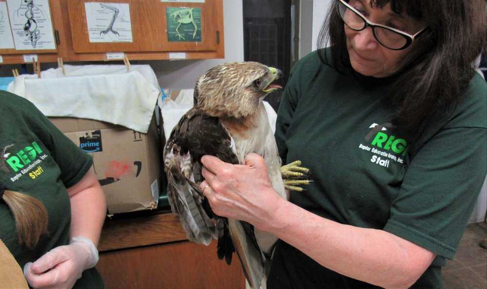 Thanks to Dawn  Dawn Wilhelm Stein  for transporting this beautiful red tailed hawk to us for care.