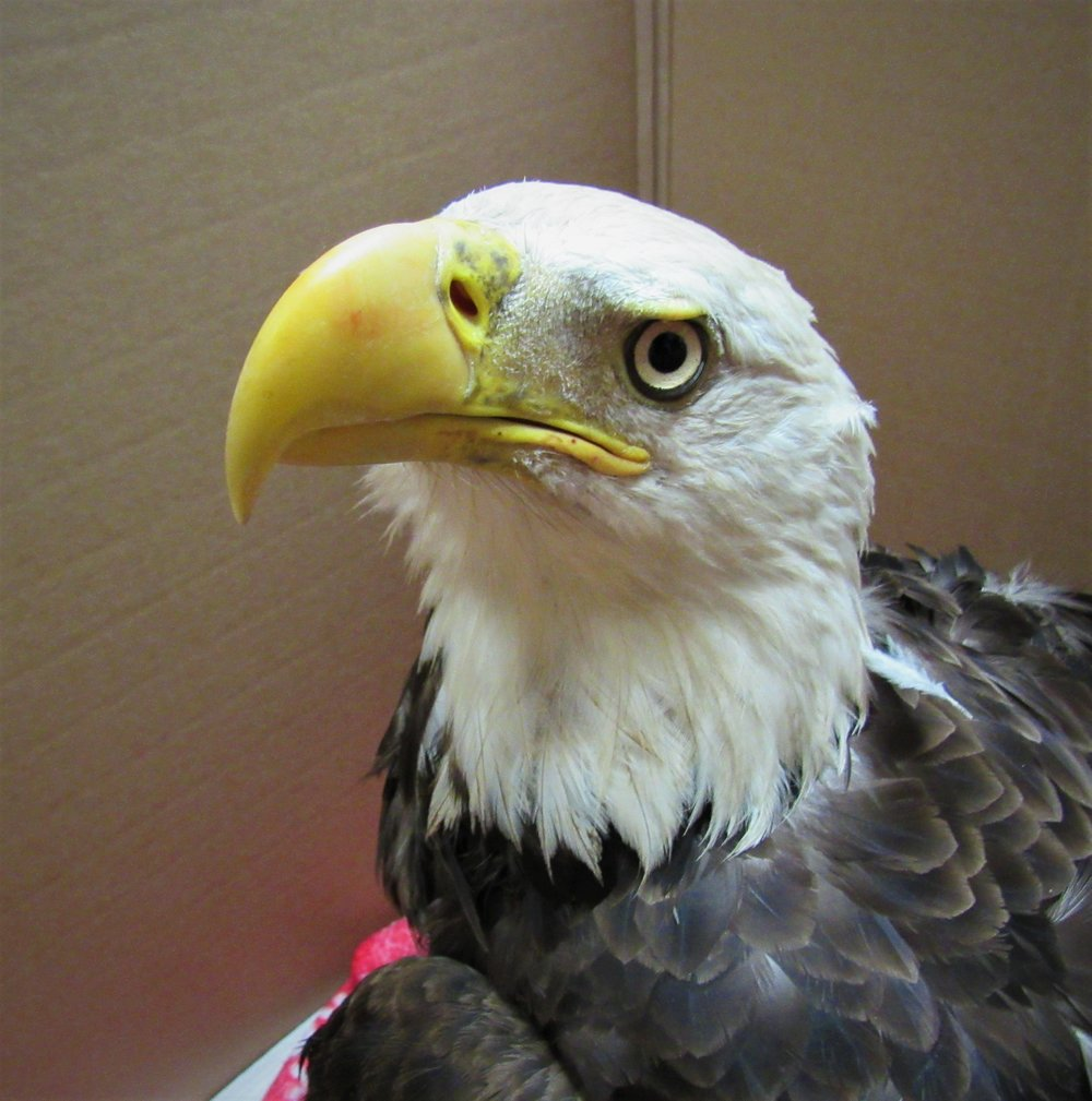 This beautiful adult female Bald Eagle was admitted from Ogdensburg, WI. She was rescued by Jon Robenhagen.