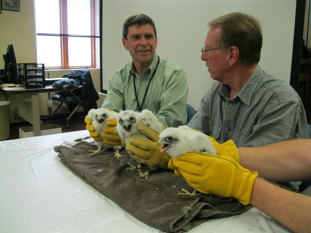 WPS photo of the banding of the Peregrine falcon chicks by Greg Septon.