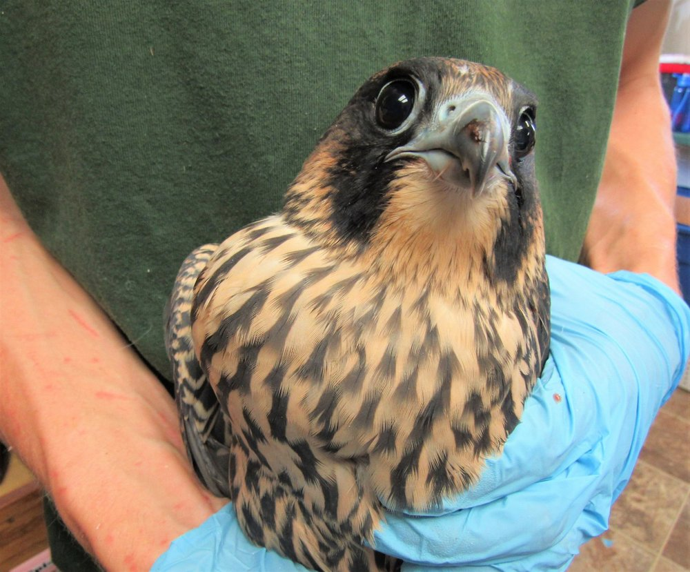 The young peregrine is a beauty even if she has a bit of her lunch left on her ample beak.