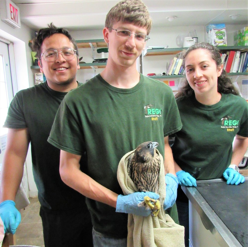 REGI staffer Greg Russ, Interns Rafael and Laura prepare the young falcon for her return to the wild this morning at the REGI clinic.