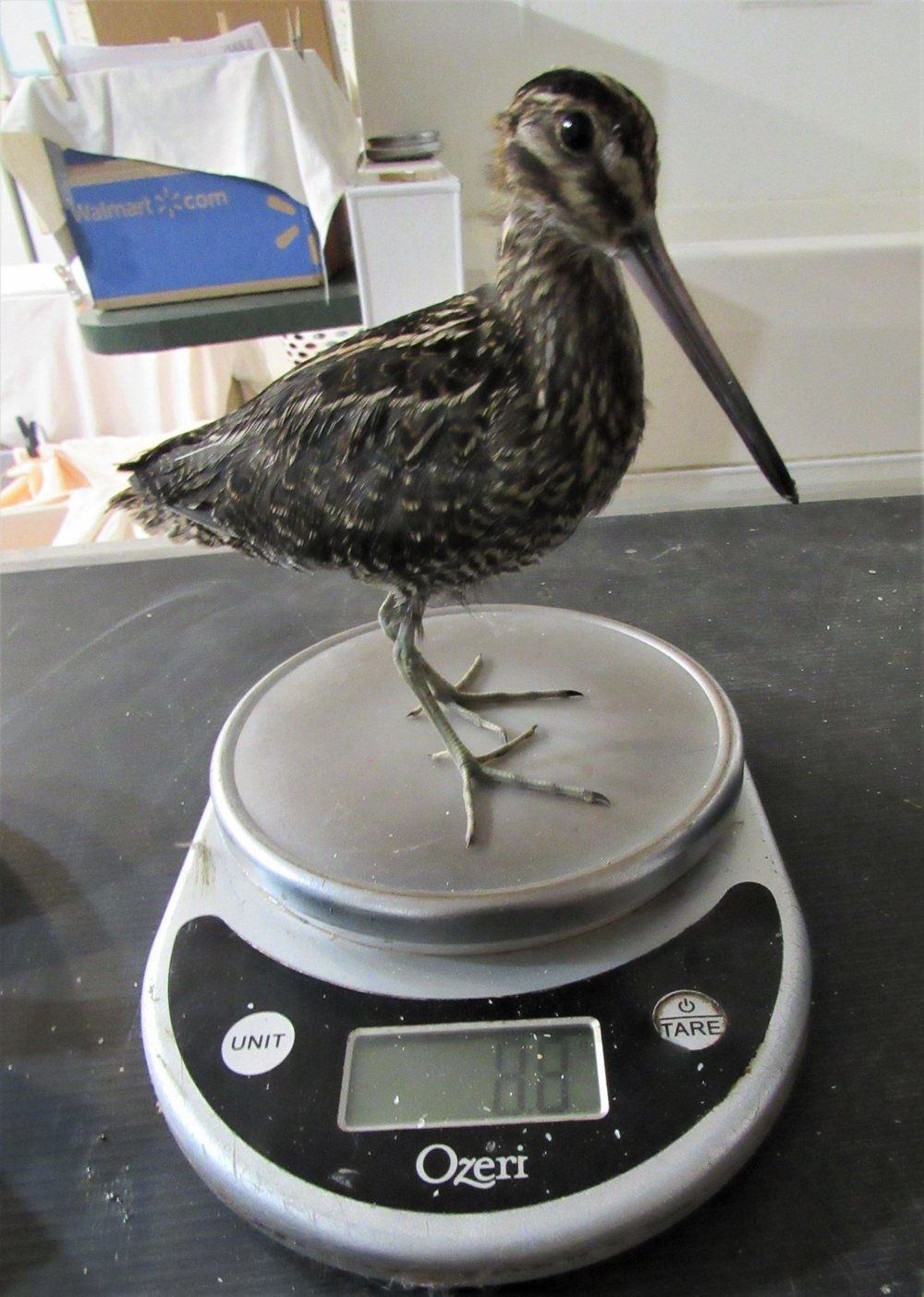 Wilsons Snipe is almost grown up! Handsome little one.