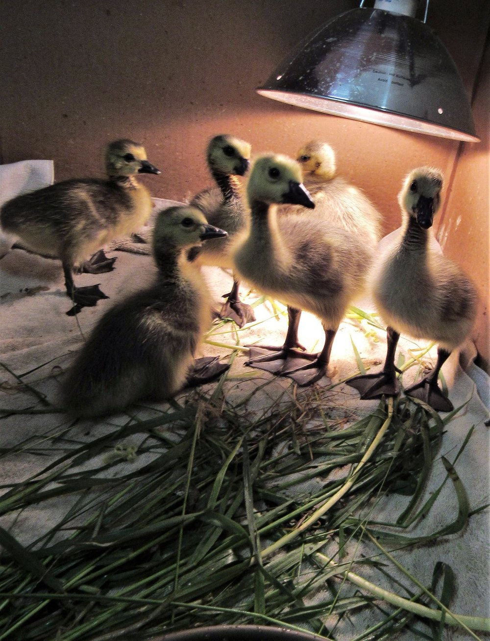 Part of the crew of Canada goslings. Each arrived individually from a separate accident. Now they are famly with their foster mom and dad.