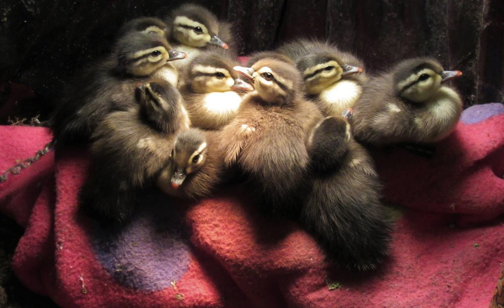 Wood duck ducklings are adorable but challenging to raise due to their diet and sensitive nature.