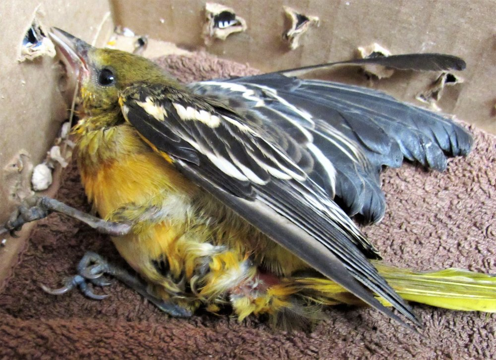 Mom Baltimore Oriole was fatally injured defending her chicks from a cat. The entire family including the chicks were killed.