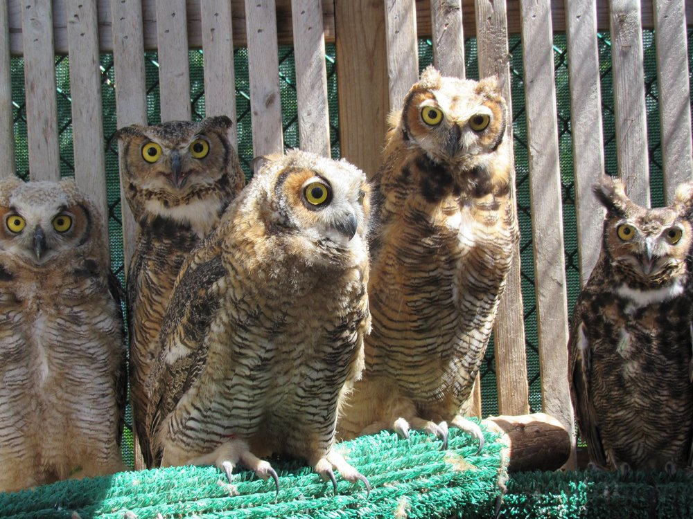 There she is now wit her foster siblings. She is the tallest and most mature owlet in the back second from the left. That is the foster dad Papa on the right.