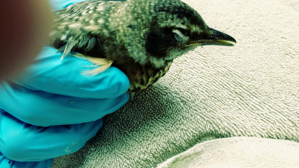 Young American robin with pesticide poisoning from Wausau.