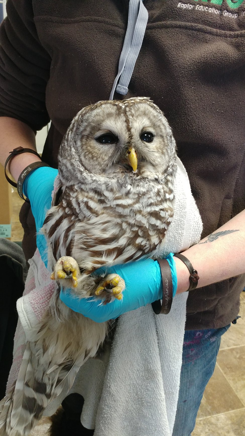 Barred owls are often hit by cars as they hunt rodents at night.