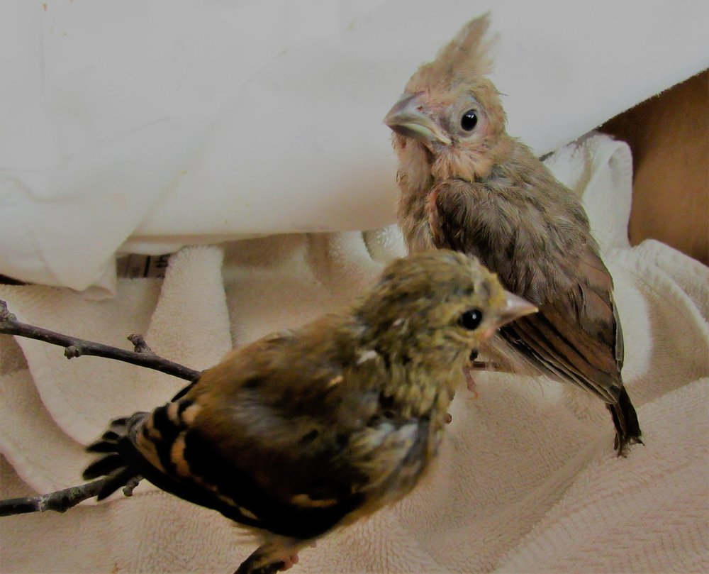 Other passerines in care now are a young American goldfinch and a young Northern cardinal.
