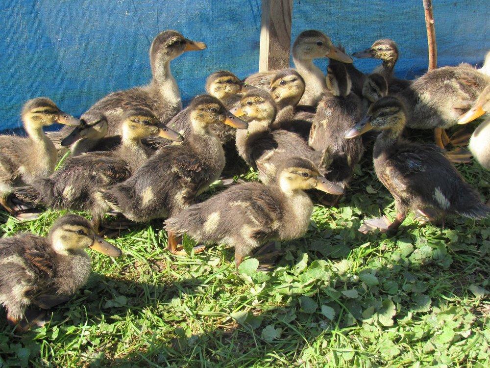 Growing up Mallard and Wood Ducks