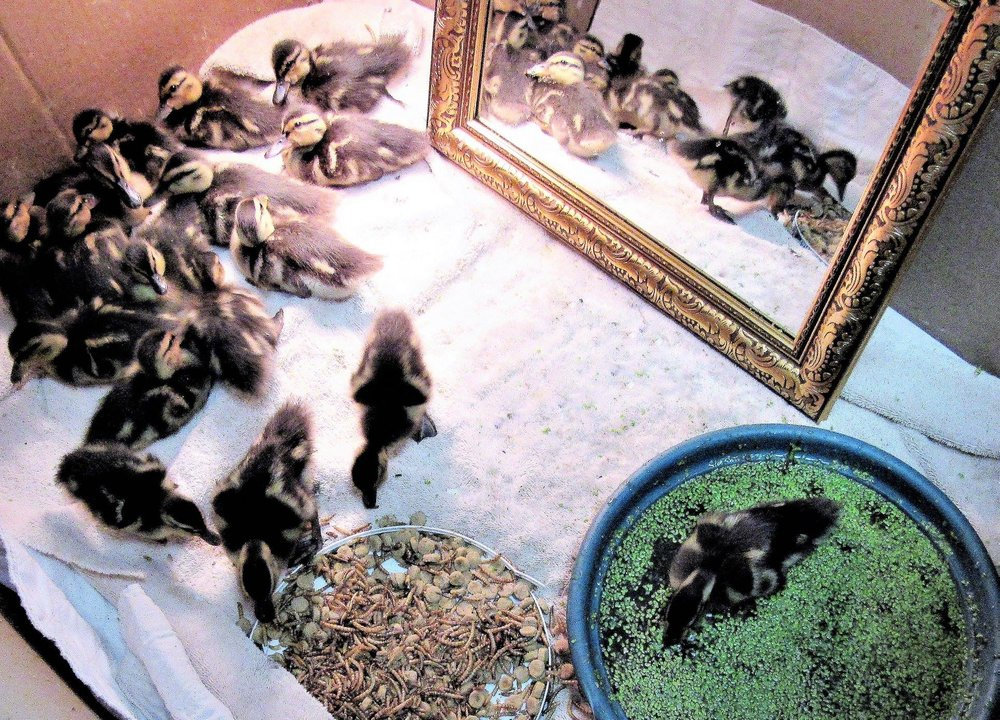 Lots of Wood ducklings during their early days in rehabilitation.