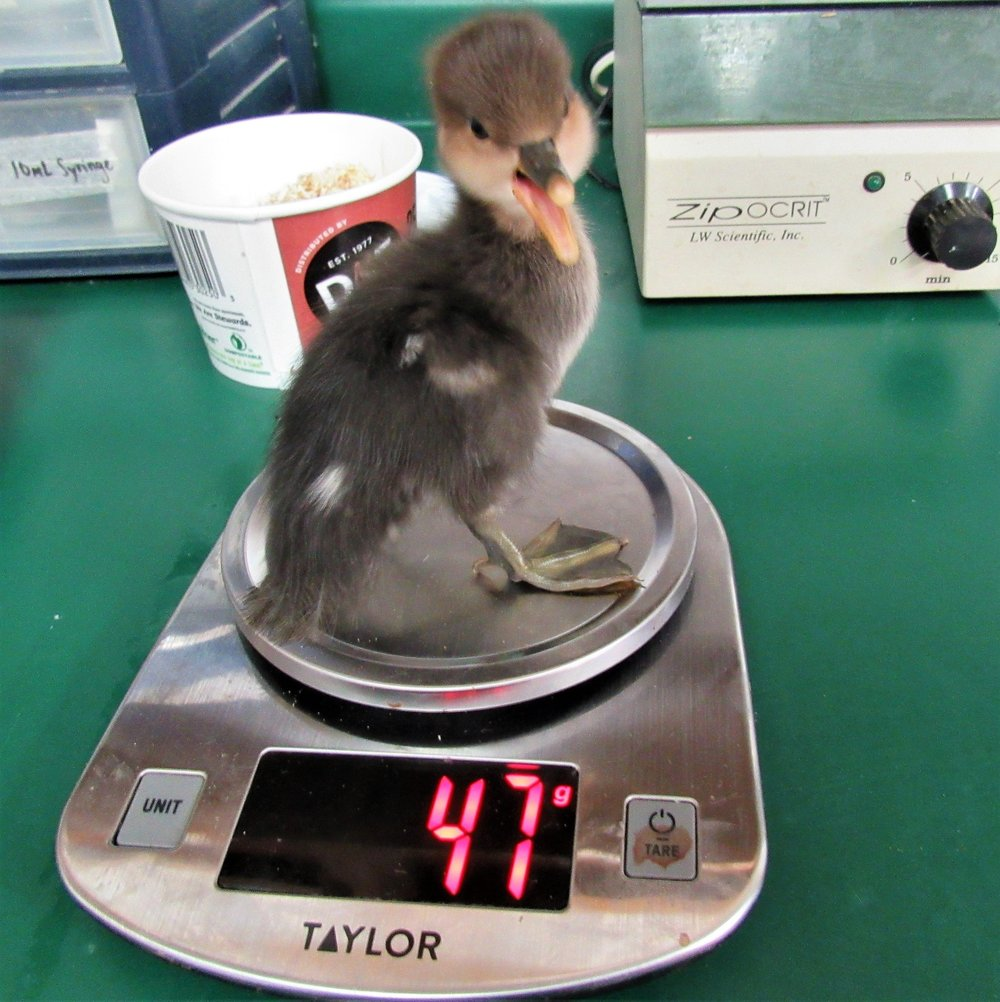 Tiny Hooded Merganser when he arrived at REGI late one stormy night. Thanks to the great folks that rescues him.