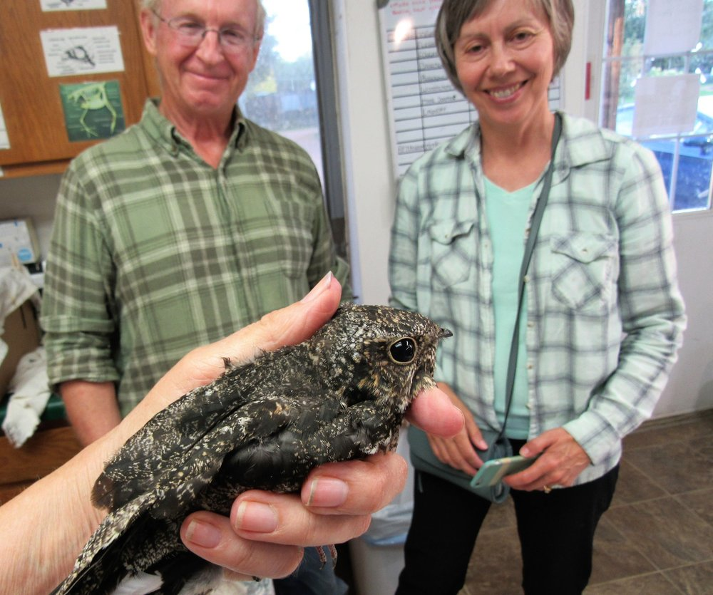 Thanks to Gary Hellrood and family for rescuing and transporting this female Nighthawk to REGI for care.