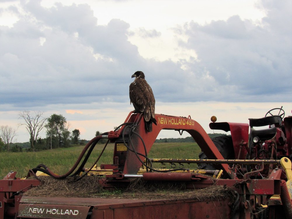 A very emaciated young Bald Eagle sits on a piece of farm equipment just prior or a severe thunderstorm.