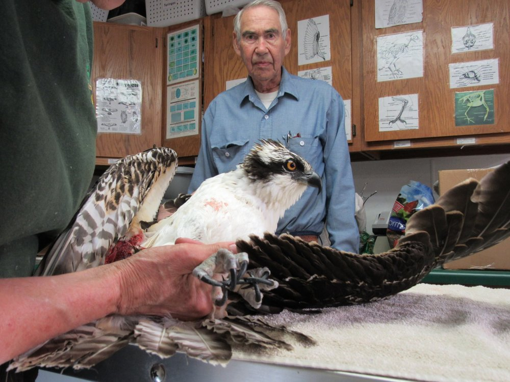 David and Judy Marshall transported the Osprey to REGI for care from Stevens Point.