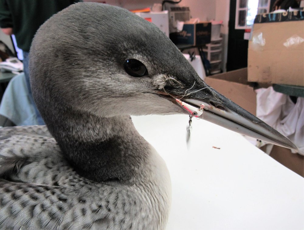 A fishing lure/spoon and hook was embedding into this 9 week old loons face and beak. Line was wrapped tightly around her beak and entended down her throat into her digestive system.